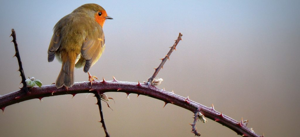 A robin on a cold winters day in Norfolk.